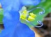 8.24.08 (sunshadows) Tags: blue white macro green yellow heart bokeh dayflower naturesfinest sanmarcostexas macrolicious itslove bej bokehlicious abigfave platinumphoto anawesomeshot ©allrightsreserved ysplix theunforgettablepictures commelinadianthifolia goldstaraward awesomeblossoms forkirkandmanyyears