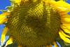 IMG_2776-1 (Saeed Nassbeh) Tags: macro green nature yellow bright amman jordan sunflower greenery macrophotography الطبيعة طبيعة الأردن أصفر زهور أزهار عمّان التصويرعنقرب الهواءالطلق برّاق عبّادالشمس زهورعبّادالشمس