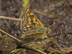 Chequered Skipper (JaneTurner68) Tags: butterfly insect scotland argyll scottishhighlands chequeredskipper glasdrum glasdrumwood