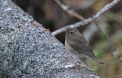 Gray-cheeked Thrush (jd.willson) Tags: birds island bay birding gray maine jd penobscot thrush willson islesboro cheeked jdwillson graycheed