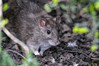 Brown Rat 2