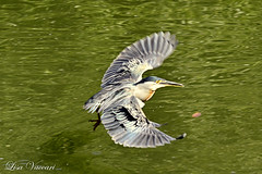 Socozinho (Butorides striata) (Lisa Vaccari) Tags: lago natureza pássaro ave sãocarlos butoridesstriata bicão aoarlivre socózinho avevoando