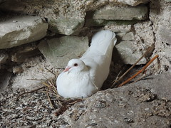 White Dove, Tintern Abbey, Tintern, Monmouthshire 17 July 2015 (Cold War Warrior) Tags: dove tinternabbey tintern monmouthshire whitedove