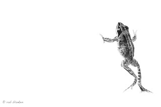 High Key Frog (2), B&W