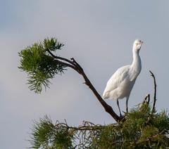 20150722-_74P8542.jpg (Lake Worth) Tags: bird nature birds animal animals canon wings florida wildlife feathers wetlands everglades waterbirds southflorida 2xextender sigma120300f28dgoshsmsports