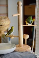 DSC_7847 (Jenny Yang) Tags: pet bird lady finch gouldian