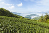tea garden (Olen photo) Tags: taiwan chiayi mountain train green blue sky cloud sunny day tea travel canon 500d tokina t116