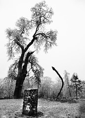 UO IceStorm 2016 Condon Oak BW (Wolfram Burner) Tags: weather hazard uo uofo uoregon universityoforegon university oregon college campus operations trees ice storm icestorm inclement damage winter lane county eugene wolfram burner