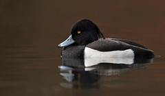 Tufted Duck (oddie25) Tags: canon 1dx 600mmf4ii duck tufted tuftedduck winter forestofdean wildlife wildfowl nature
