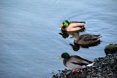 Those 3 ducks (SCMowbray) Tags: ducks swimming birds fowl duckpaddling quack mallard
