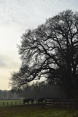 Horses (chemodan) Tags: uk suffolk langham dusk paddock horses oak silhouette