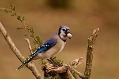 First come first served! (Mannington Creek) Tags: bird animal wildlife blue bluejay peanuts winter