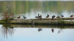 camera 289crpfwlsat (citatus) Tags: ducks log george reifel bird sanctuary british columbia fall afternoon 2007 sony dsch2