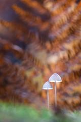 """Contraste"" (Thomas Vanderheyden) Tags: bokeh champignon colors couleur france fujifilm macro mushroom nature picardie proxi tamron90mm thomasvanderheyden xt1 fungi"