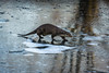 Otter pond (Explored) (hehaden) Tags: mustelid otter europeanotter lutra pond ice frozen winter bwc britishwildlifecentre lingfield surrey sel70200g