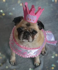 Happy Birthday Bailey Puggins! (DaPuglet) Tags: pug pugs dog dogs animal animals pet pets birthday happybirthday celebration love crown princess hat cute costume