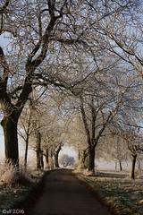 Winterblütenweg (leaving-the-moon) Tags: 2016 201612 baden bäume deutschland germany goodlight kraichgau landscape landschaft raureif sweethome trees whitefrost winter wood