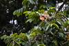Iguana Looking for Love (jeff_a_goldberg) Tags: iguana greeniguana winter nathab naturalhabitatadventures laselva laselvabiologicalstation costarica heredia cr