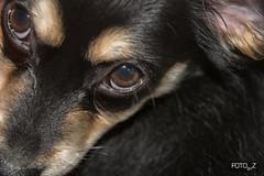 Lola (misslalovely) Tags: pomchi fotobyz eyes black