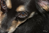 Lola (misslalovely) Tags: pomchi fotobyz eyes black