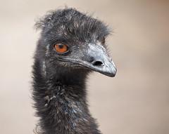 emu bird  -  Bluebird Gap Farm Hampton Virginia (watts_photos) Tags: bluebird gap farm hampton virginia emu bird birds farms big animal 55250