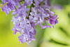 Feeling Brighter (Synapped) Tags: second lavender flower purple lilac hang hanging