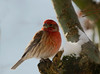 House Finch (Team Hymas) Tags: house finch hme feeder vancouverwashington cold winter
