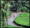 Stanmore Tea Estate (Indianature st2i) Tags: valparai westernghats tamilnadu tea indianature india indiragandhiwildlifesanctuary anamalaitigerreserve anamalais anamallais 2016 2017 nature stanmoreestate