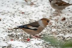 Kernbeißer - Hawfinch (riesebusch) Tags: berlin garten marzahn vögel