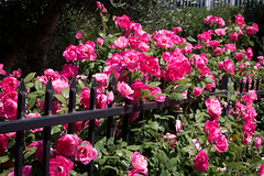 D1478E7 - Pink Roses Everywhere (Bob f1.4) Tags: pink roses garden discovery bay ca california lots them fence