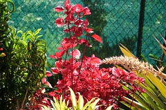 Fence, Chainlink (LarryJay99 ) Tags: sunlight color fridayfence chainlinkfence gardening red fencerow foliage fences nature florida mountsbotanicalgardens happyfencefriday plants railfence westpalmbeach pictures outside fenceshadow fence chainlinkfencehappyfencefriday fencefriday light canonefs60mmf28macrousm