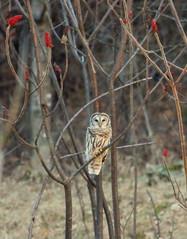 (stevel2112@rocketmail.com) Tags: vermont vt owl bird
