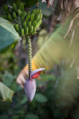 Cuba - Viñales (Cyrielle Beaubois) Tags: 2016 cuba cyriellebeaubois viñales décembre banana flower plant tree explore
