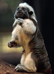 cottontop marmoset artis JN6A7623 (j.a.kok) Tags: cottontopmarmoset pincheaapje pincheeaapje klauwaapje zuidamerika southamerica marmoset