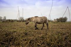 konikpaarden oostvaardersplassen (robert.bras) Tags: konikpaarden almere flevoland holland eiland wild paarden winter