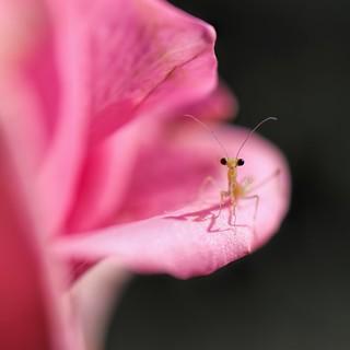 Mantis Nymph on a Rose