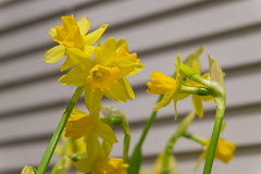 356/366 - Narcissi (Spannarama) Tags: 366 december narcissi flowers plants blinds slats kitchen home