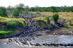 Crossing the Mara River (jnhPhoto) Tags: africa crossing migration northernserengeti tanzania jnhphoto marariver greatmigration