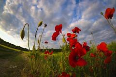 2015 Mohnfeld (jeho75) Tags: flowers sky field clouds sony feld himmel wolken fisheye 8mm 6000 128 ilce mohnblumen samyang