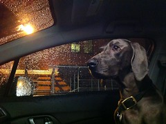 No Driver License - But i got Rabbies Vaccine medal (VanaTulsi) Tags: dog weimaraner weim blueweimaraner vanatulsi blueweim