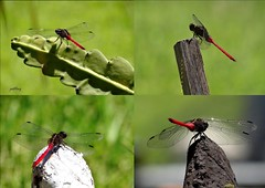 Dragon Fly (pat.bluey) Tags: collage insect dragonfly newsouthwales 1001nights mygarden 1001nightsmagiccity ruby5