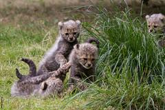 Geparden / Cheetah pups (HendrikSchulz) Tags: zoo pups workshop cheetah pup münster allwetterzoo gepard 2015 animalphotography tierfotografie jungtier jungtiere fotoschuledessehens hendrikschulz hendriktschulz