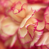 6 July 2015 (Kitty W) Tags: flowers macro lensbaby petals flora carnations naturethroughthelens