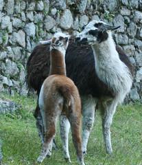 Peru-8631.jpg (Matt and Debbie) Tags: peru llama 2015 wayna winaywayna wiay