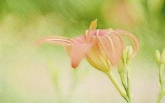 Tiger Lily Fractal (Caroline.32) Tags: flower lily tigerlily perennial fractalimage fractalius