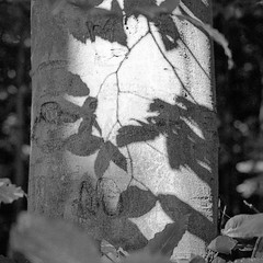 Shadows on the Birch (Mike Mock) Tags: film shadows pentax hp5 birch zxm iflord