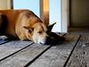 ,, Mama Resting ,, (Jon in Thailand) Tags: dog table nikon mama jungle resting nikkor k9 d300 175528 thelittledoglaughed littledoglaughedstories abandonabusedstreetdogs