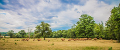 Cow herd (DC P) Tags: sky panorama cloud france color tree nature colors beautiful clouds canon french landscape cow fantastic colours view cows farming wide wideangle frankrijk herd tress soe beautifull morvan bej fantasticnature laquintaessenza