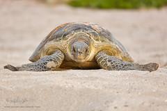 Green Turtle (MyKeyC) Tags: sea green marine turtle egg seaturtle greenturtle laying