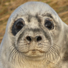 Grey seal (Peanut1371) Tags: greyseal seal pup mammal donnanook nationalgeographicwildlife
